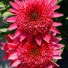 Echinacea-Giddy-Pink-2