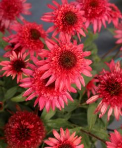 echinacea giddy pink coneflower for sale