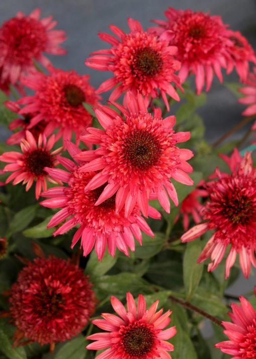echinacea-giddy-pink