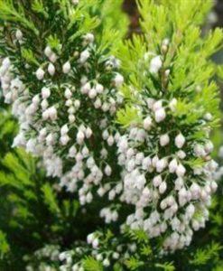 Erica arborea for sale online