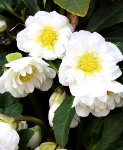 hellebore snow frills for sale