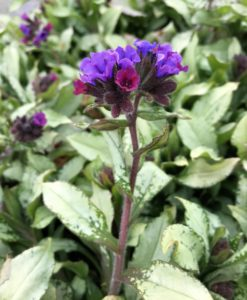 lungwort diana clare for sale online
