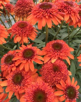 Echinacea 'Moab Sunset' for sale online