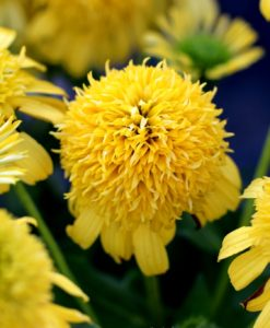 echinacea sunny days lemon for sale online