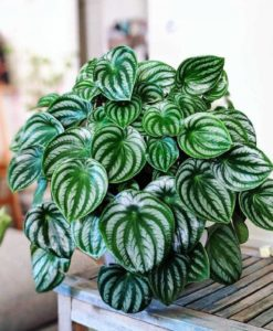 peperomia watermelon for sale online