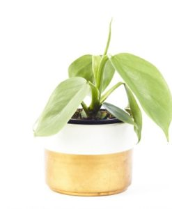 philodendron silver sword for sale online