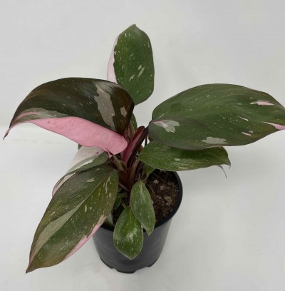 philodendron pink princess for sale online