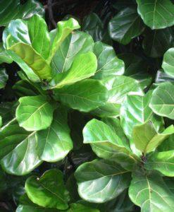 ficys lyrata fiddle-leaf fig for sale online