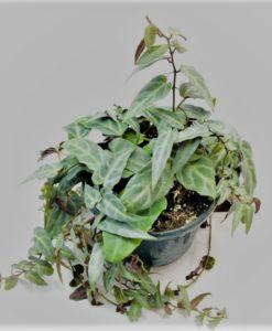 Parthenocissus Amazonica for sale online